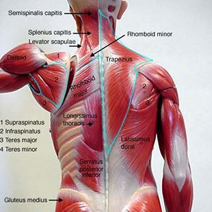 Back_muscles_mmlabel